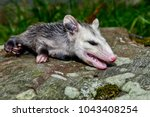 A Young Opossum Playing Dead I...