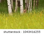 hidden siberian tiger  amur... | Shutterstock . vector #1043416255