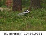 beautiful european badger ... | Shutterstock . vector #1043419381