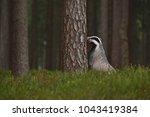 beautiful european badger ... | Shutterstock . vector #1043419384