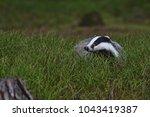 beautiful european badger ... | Shutterstock . vector #1043419387