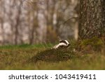 beautiful european badger ... | Shutterstock . vector #1043419411