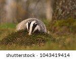 beautiful european badger ... | Shutterstock . vector #1043419414