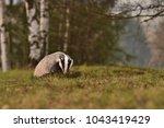 beautiful european badger ... | Shutterstock . vector #1043419429