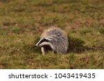 beautiful european badger ... | Shutterstock . vector #1043419435