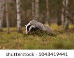 beautiful european badger ... | Shutterstock . vector #1043419441