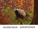 beautiful european badger ... | Shutterstock . vector #1043419444