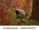 beautiful european badger ... | Shutterstock . vector #1043419447