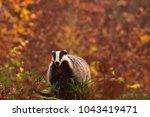beautiful european badger ... | Shutterstock . vector #1043419471