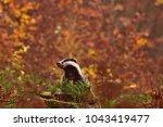 beautiful european badger ... | Shutterstock . vector #1043419477