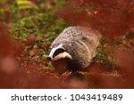 beautiful european badger ... | Shutterstock . vector #1043419489