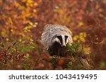 beautiful european badger ... | Shutterstock . vector #1043419495
