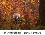beautiful european badger ... | Shutterstock . vector #1043419501