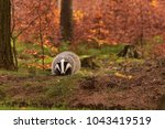 beautiful european badger ... | Shutterstock . vector #1043419519