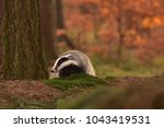 beautiful european badger ... | Shutterstock . vector #1043419531