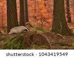 beautiful european badger ... | Shutterstock . vector #1043419549