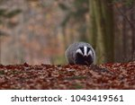 beautiful european badger ... | Shutterstock . vector #1043419561