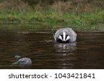 beautiful european badger ... | Shutterstock . vector #1043421841