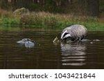 beautiful european badger ... | Shutterstock . vector #1043421844