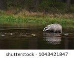 beautiful european badger ... | Shutterstock . vector #1043421847