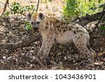 spotted laughing hyena eating... | Shutterstock . vector #1043436901