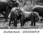 elephant family having a drink... | Shutterstock . vector #1043436919