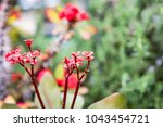 red crown of thorns  plant of... | Shutterstock . vector #1043454721