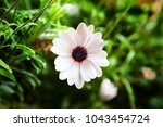 a single white daisy with blue... | Shutterstock . vector #1043454724