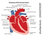 anatomy of the human heart.... | Shutterstock .eps vector #1043455039