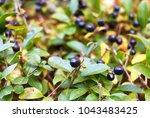 a bush of black berries. a... | Shutterstock . vector #1043483425