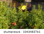 a lone yellow leaf on a green... | Shutterstock . vector #1043483761