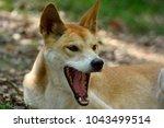 Yawning Dingo Dog  Lupus Dingo...