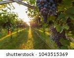 grape harvest italy | Shutterstock . vector #1043515369