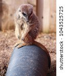 Small photo of A Meerkat sat on a pipe