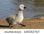Black Swan Cygnet Walking