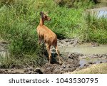 Small photo of The bohor reedbuck is an antelope native to central Africa. The animal is placed under the genus Redunca and in the family Bovidae.