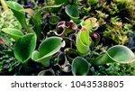 predatory tropical plants  top... | Shutterstock . vector #1043538805