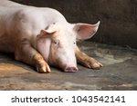 hog waiting feed. pig indoor on ... | Shutterstock . vector #1043542141
