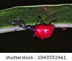 wildlife giraffe weevil beetle  ...   Shutterstock . vector #1043552461