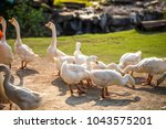 white goose are standing in... | Shutterstock . vector #1043575201