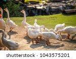 white goose standing in grounp... | Shutterstock . vector #1043575201