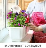 womanish hands are poured by balcony flowers - petunia and primrose in a white plastic floral box - stock photo