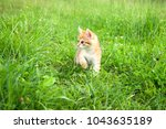 Stock photo  little furry kitten playing in spring meadow kitten on green grass healthy lifestyle 1043635189