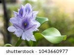 purple water hyacinth flowers...   Shutterstock . vector #1043660977
