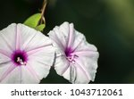 Isolated Purple Flower From...