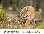 the siberian tiger  panthera... | Shutterstock . vector #1043732647