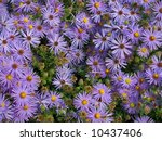 A background style shot of many purple daisy like flowers. - stock photo