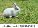 Stock photo cute rabbit brown and white rabbit mother and baby walking in the lawn little rabbits are 1043748865