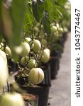 fruits of solanum muricatum ... | Shutterstock . vector #1043774467