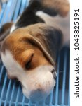 cute little beagle sleeping in... | Shutterstock . vector #1043825191